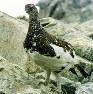 ニホンライチョウのオス=長野県の前穂高岳で1995年7月、平田明浩撮影